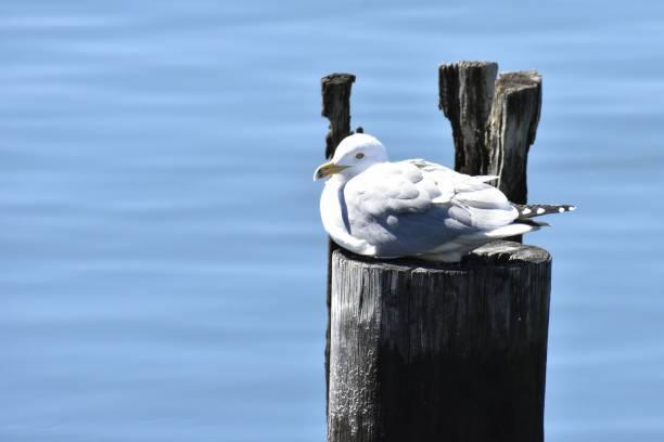 Resting Seagull, East Boston stock photo