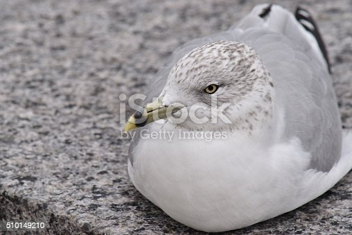 A Seagull photographed at close proximity, profile view.