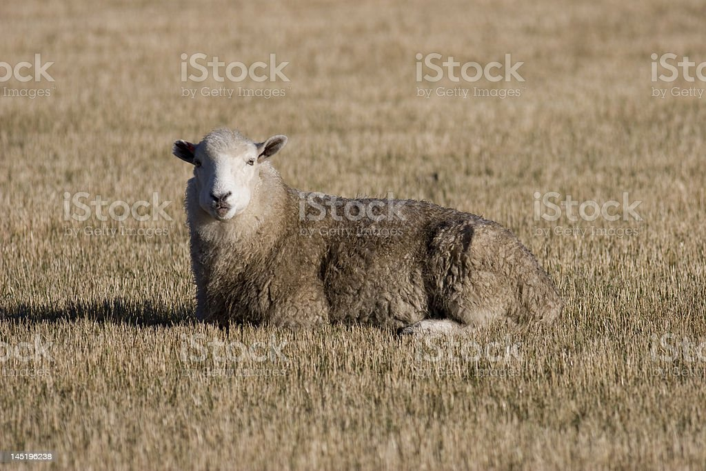 Resting sheep stock photo