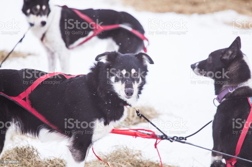Resting Sled Dogs stock photo