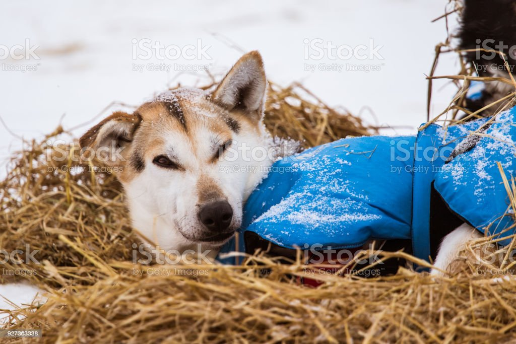 Resting Sled Dogs Resting sled dogs. Animal Stock Photo