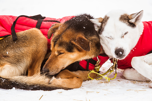 Resting Sled Dogs Stock Photo - Download Image Now
