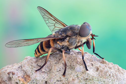 Macro close up view of a horse fly, resting standing on a rock.