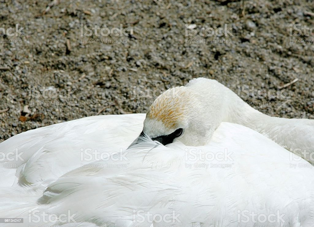resting Swan royalty-free stock photo