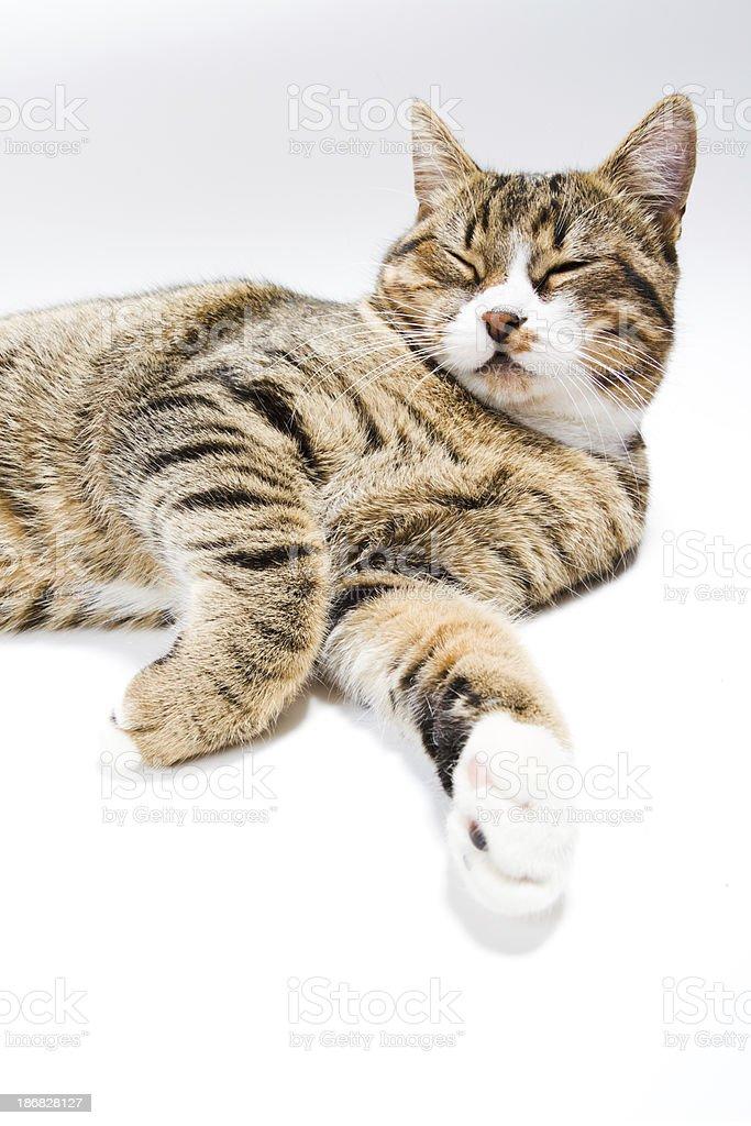 resting tabby cat royalty-free stock photo