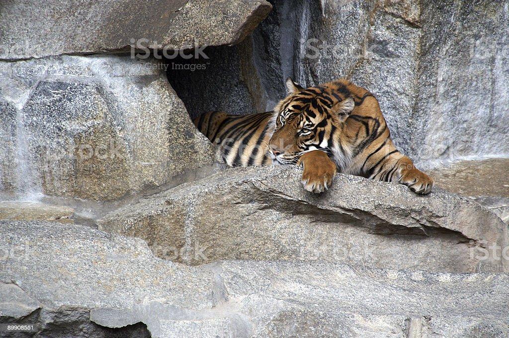 Ruhen tiger 2 Lizenzfreies stock-foto