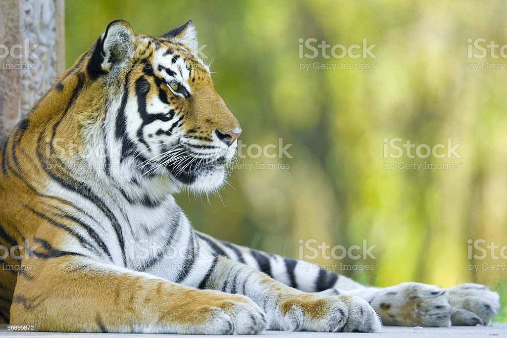 Resting tiger royalty-free stock photo
