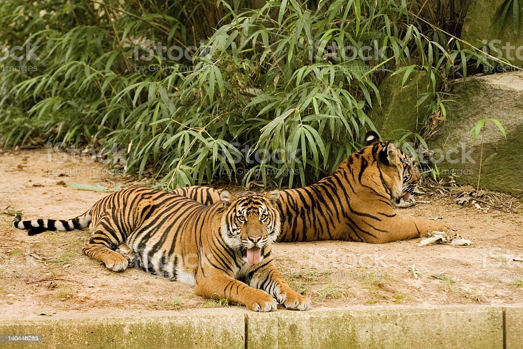 Resting Tigers royalty-free stock photo