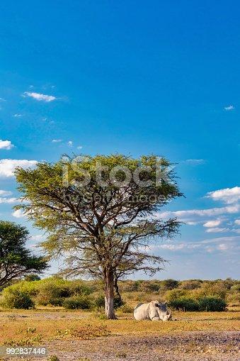 istock Resting white rhinoceros under acacia tree in Khama Rhino Sanctuary reservation, Botswana safari wildlife 992837446