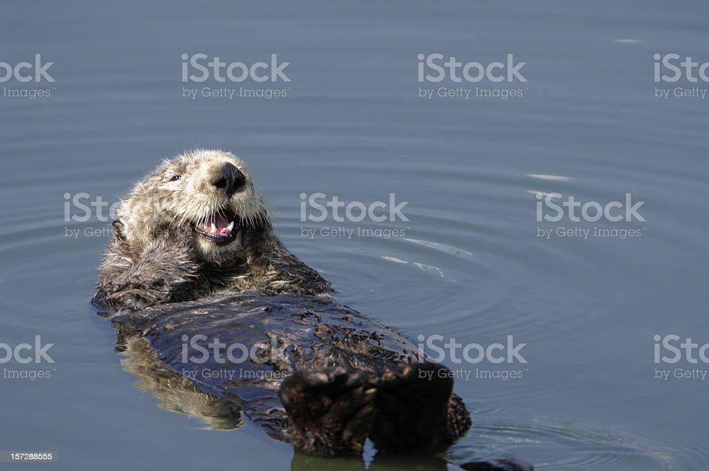 Ruhen Wild Seeotter Pondering Schwimmende Im Wasser Stock-Fotografie ...