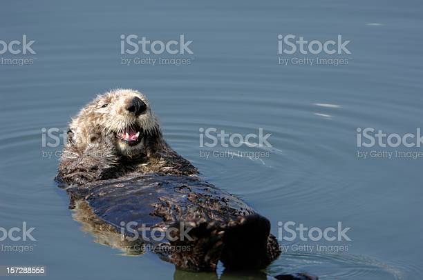 Resting wild sea otter pondering floating in water picture id157288555?b=1&k=6&m=157288555&s=612x612&h=rlhtwrygtju8 4mknojjua b3cgfshymjpvh5qza44q=