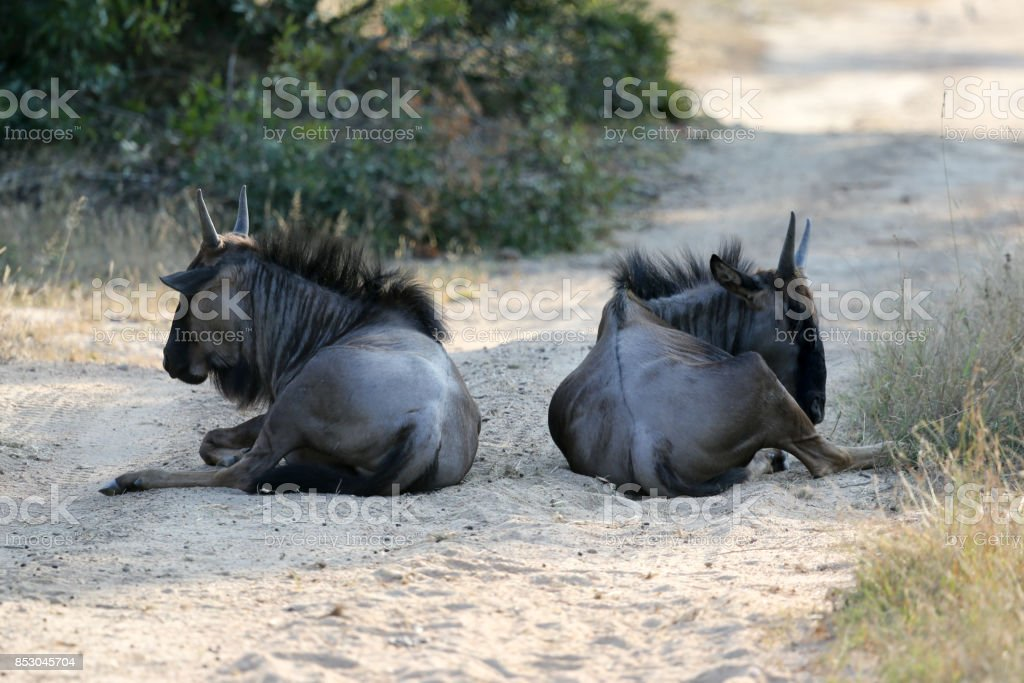 Resting Wildebeest in Kruger National park, South Africa stock photo