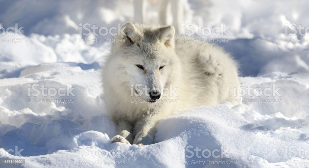 resting wolf stock photo