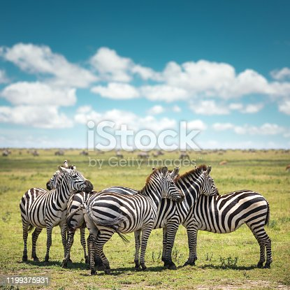 Group of resting zebras, Serengeti National Park in Tanzania.