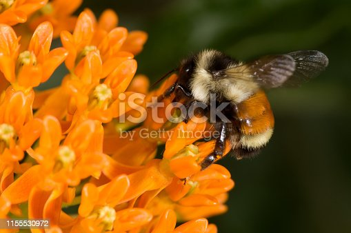 Red-tailed bumblebee on orange glory flower