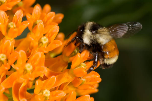 Rest-tailed bumblebee on butterfly weed stock photo