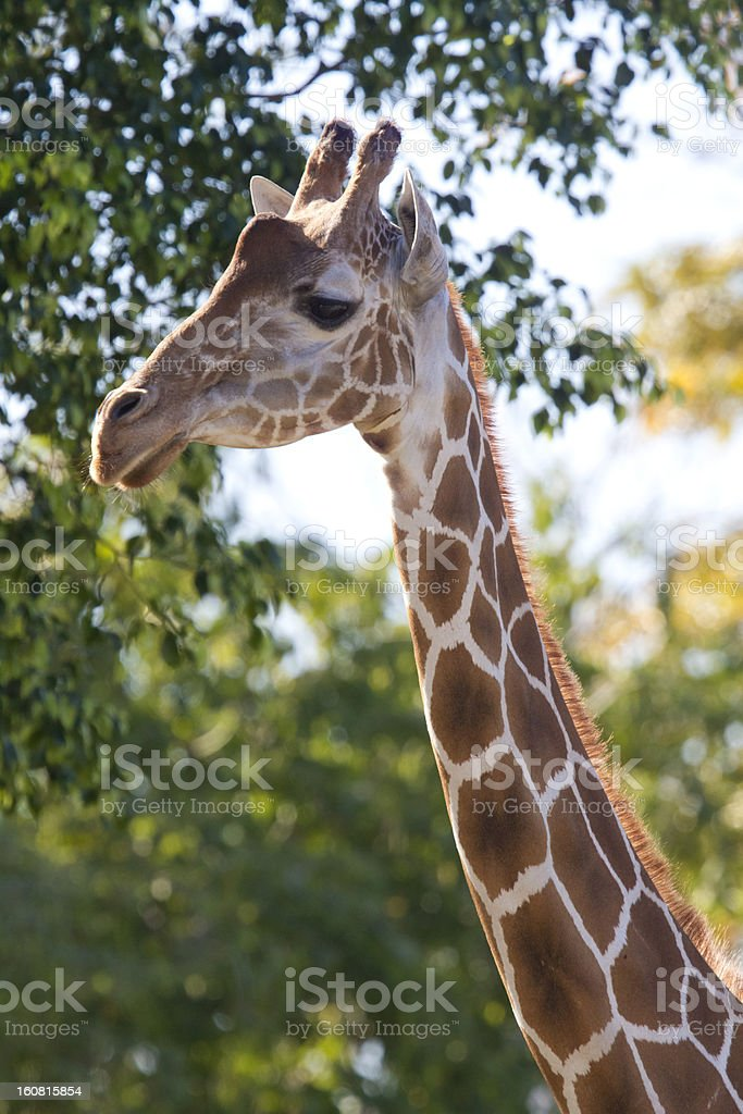 Reticulated Giraffe royalty-free stock photo