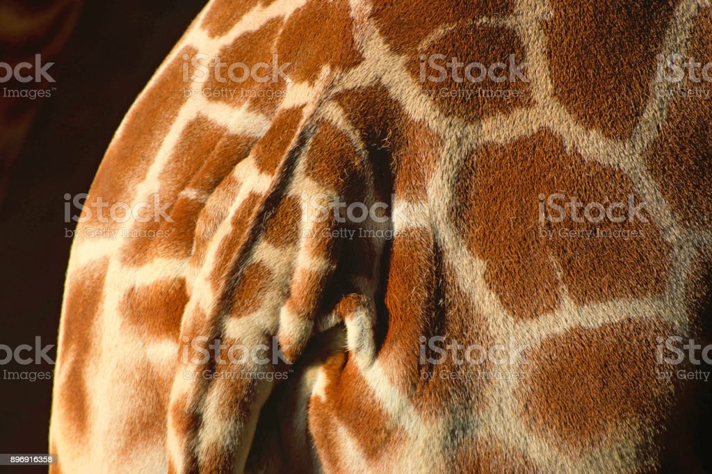 Reticulated Giraffe skin and tail stock photo