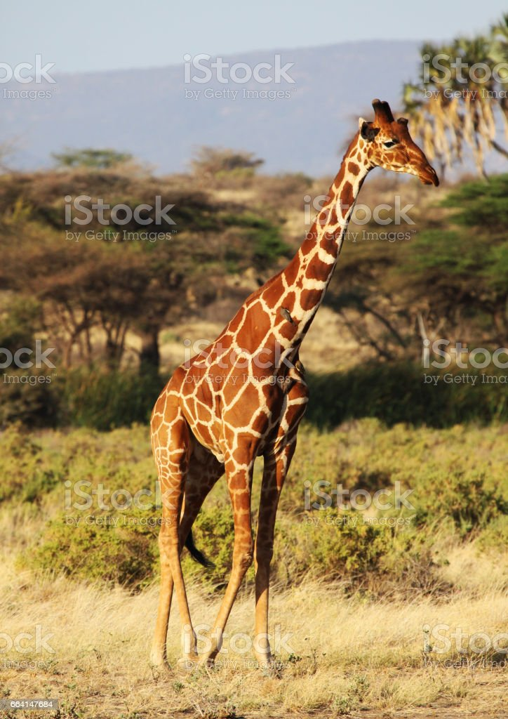 Reticulated giraffe walking foto stock royalty-free