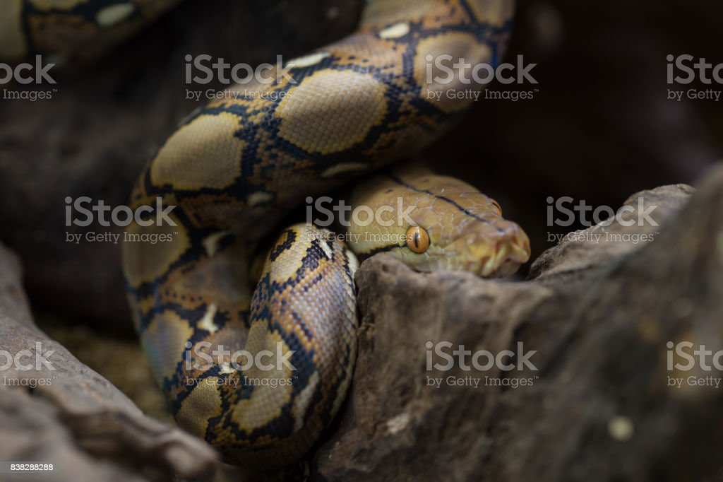 Reticulated python, Boa constrictor snake on tree branch – zdjęcie