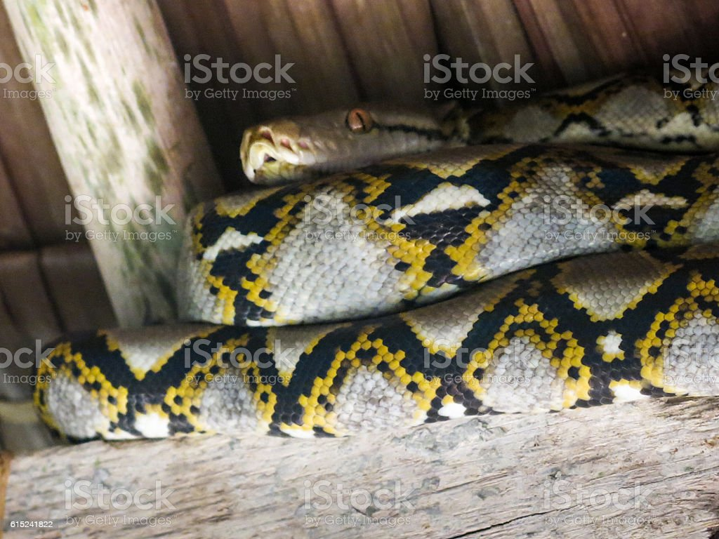 Reticulated Python Large Boa Constrictor Snake Reptile Coiled Roof