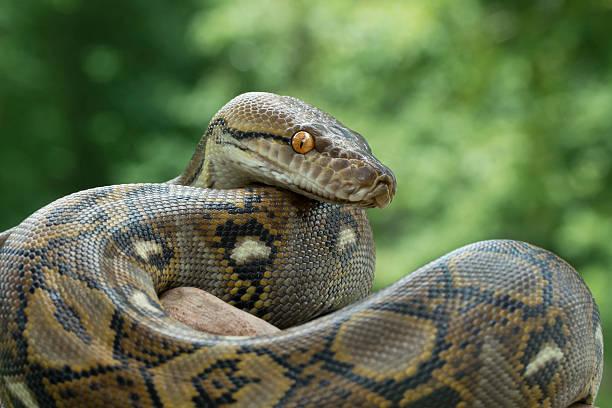 Reticulated Python stock photo