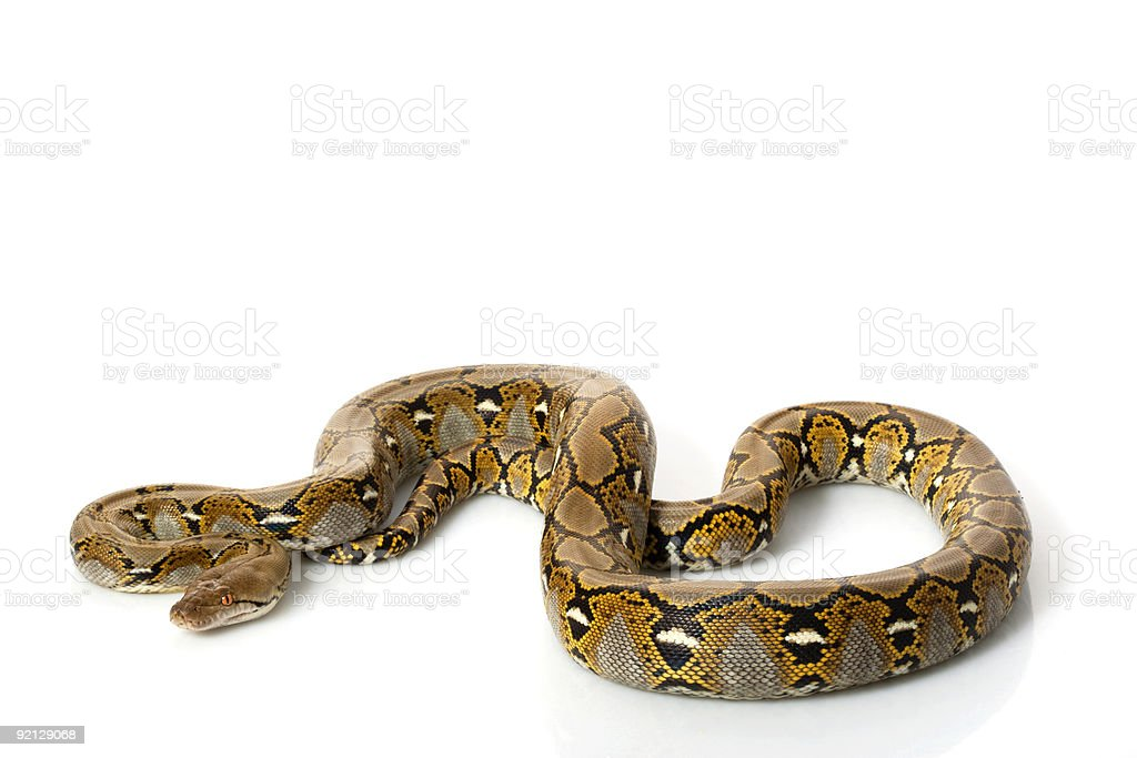 Reticulated Python royalty-free stock photo