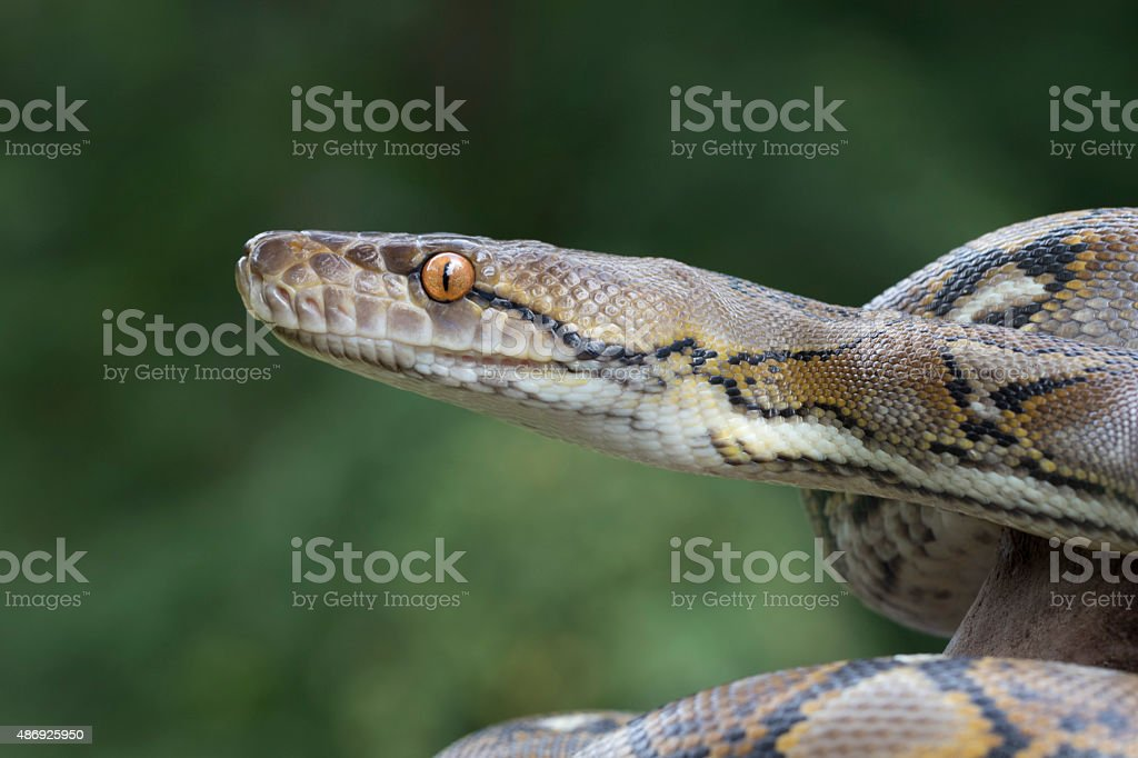 Reticulated Python Snake - Profile stock photo