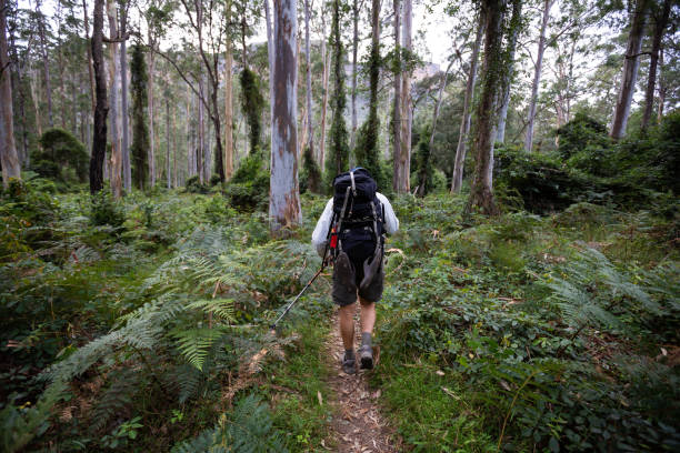 A retiree hikes through a beautiful tree forest with ferns and tall trees stock photo