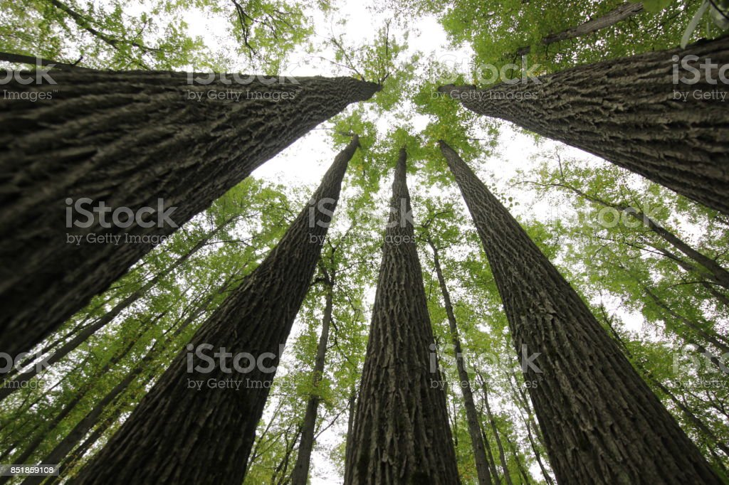 retreating up the trunks of trees stock photo