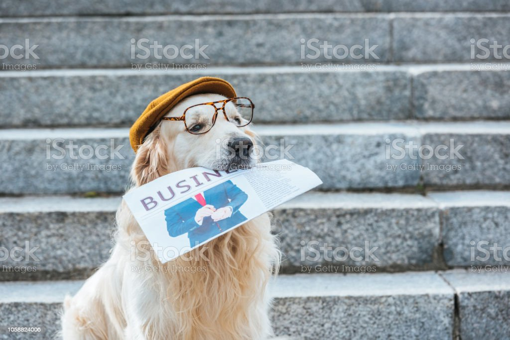 retriever dog in cap and eyeglasses holding business newspaper