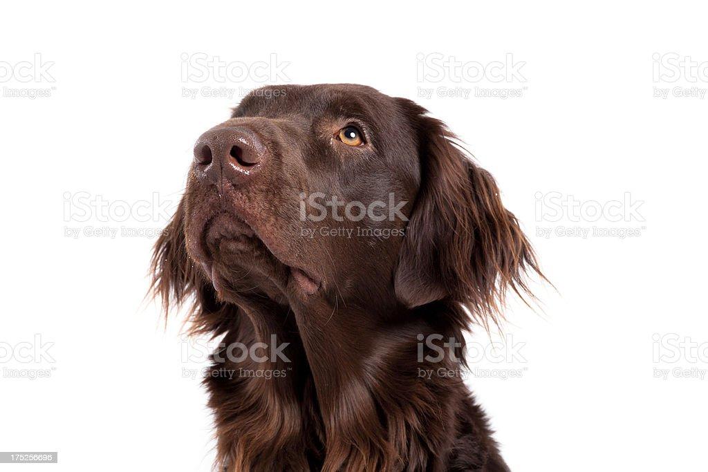retriever looks upwards royalty-free stock photo