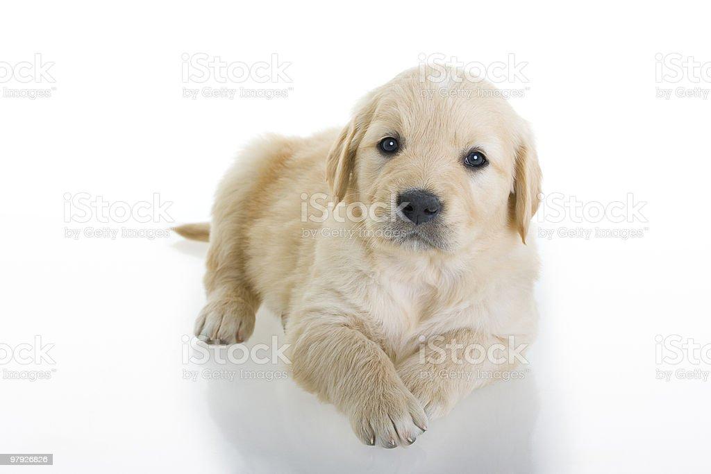 Retriever puppy royalty-free stock photo