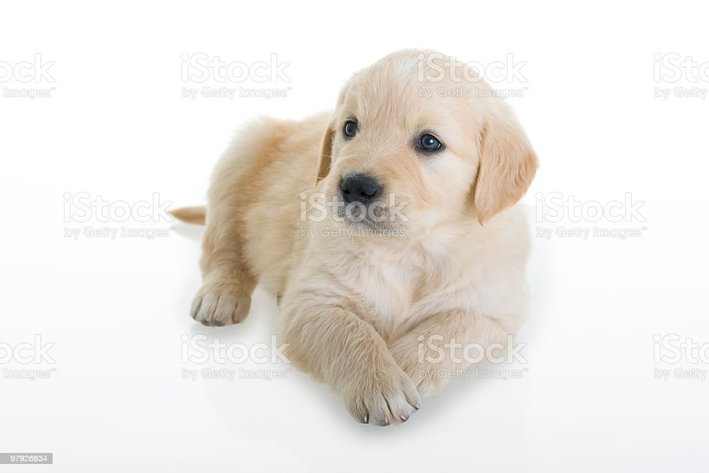 Retriever puppy royalty-free stock photo