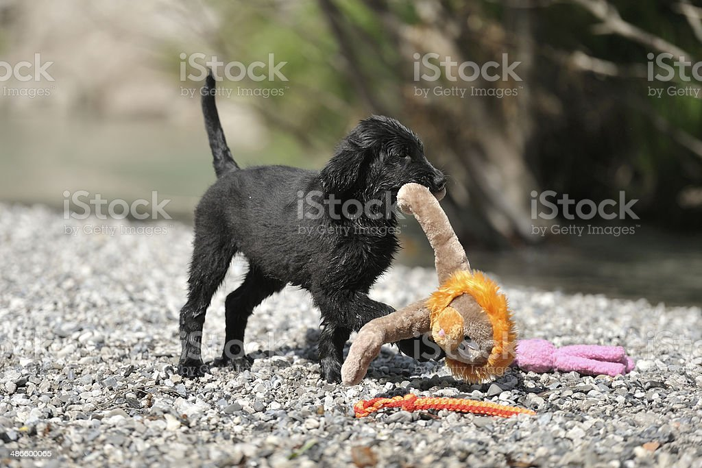 Retriever puppy playing with a toy near the river royalty-free stock photo