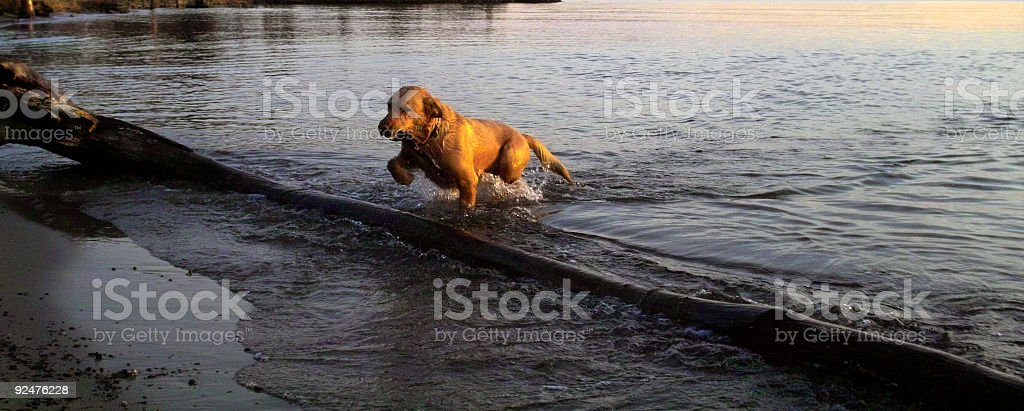 Retriever Squared royalty-free stock photo