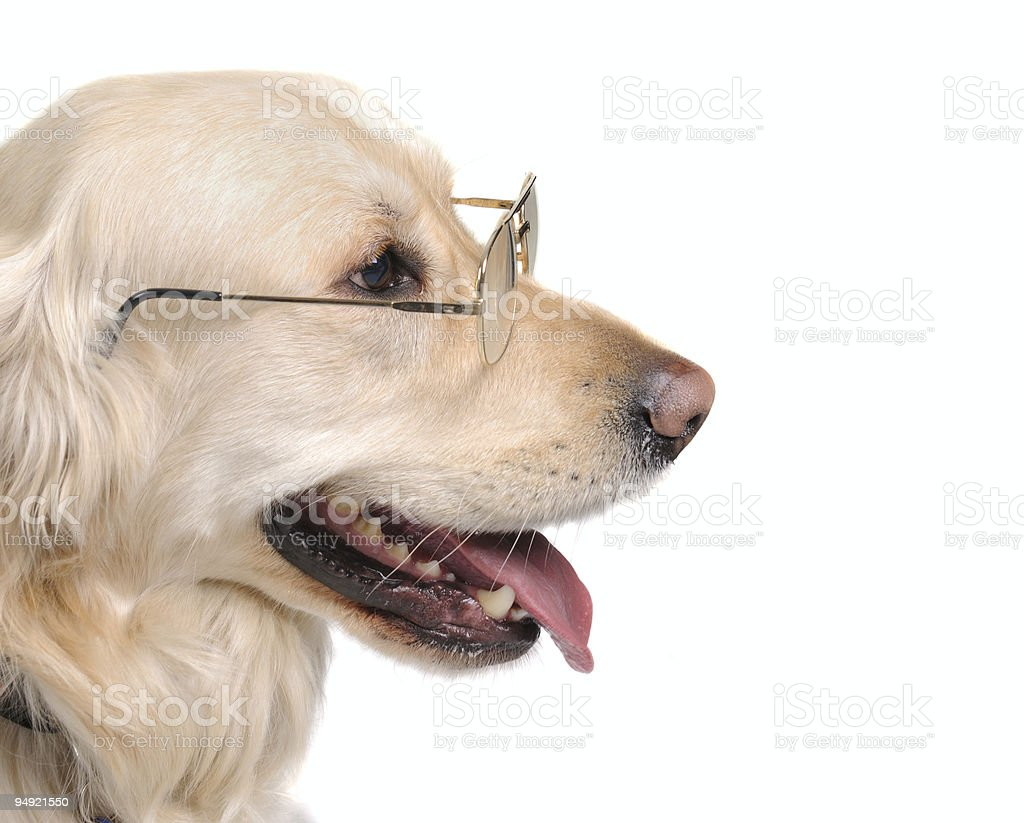 Retriever with glasses royalty-free stock photo