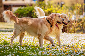 istock retrievers playing in park 471488392