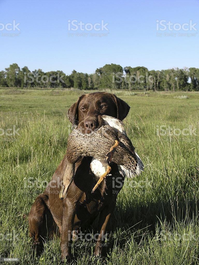 Retrieving a duck royalty-free stock photo