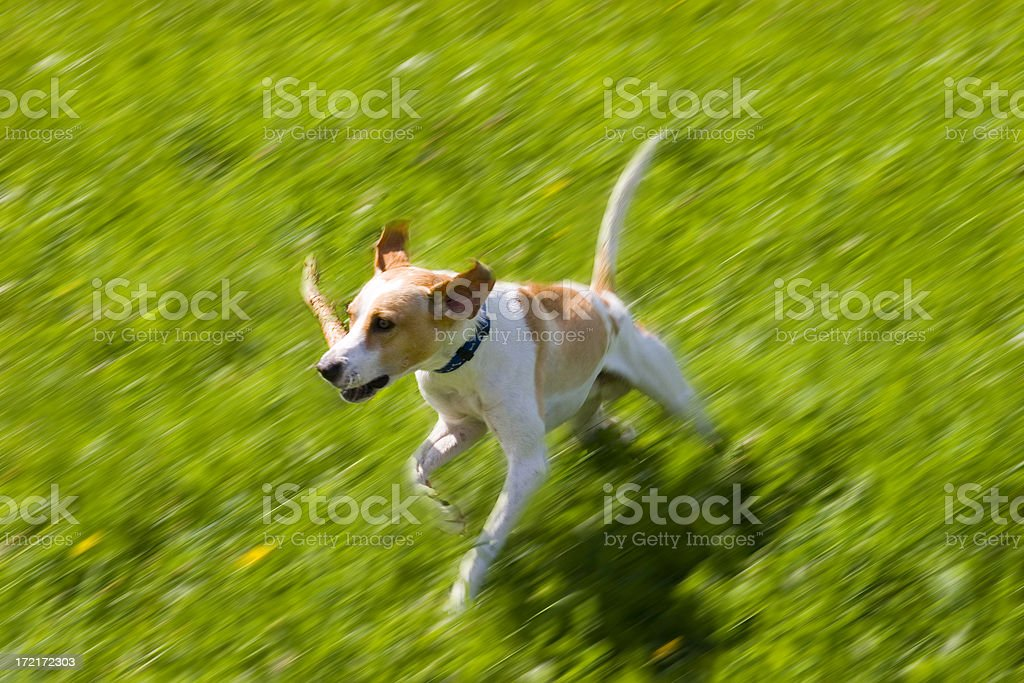 retrieving a stick stock photo