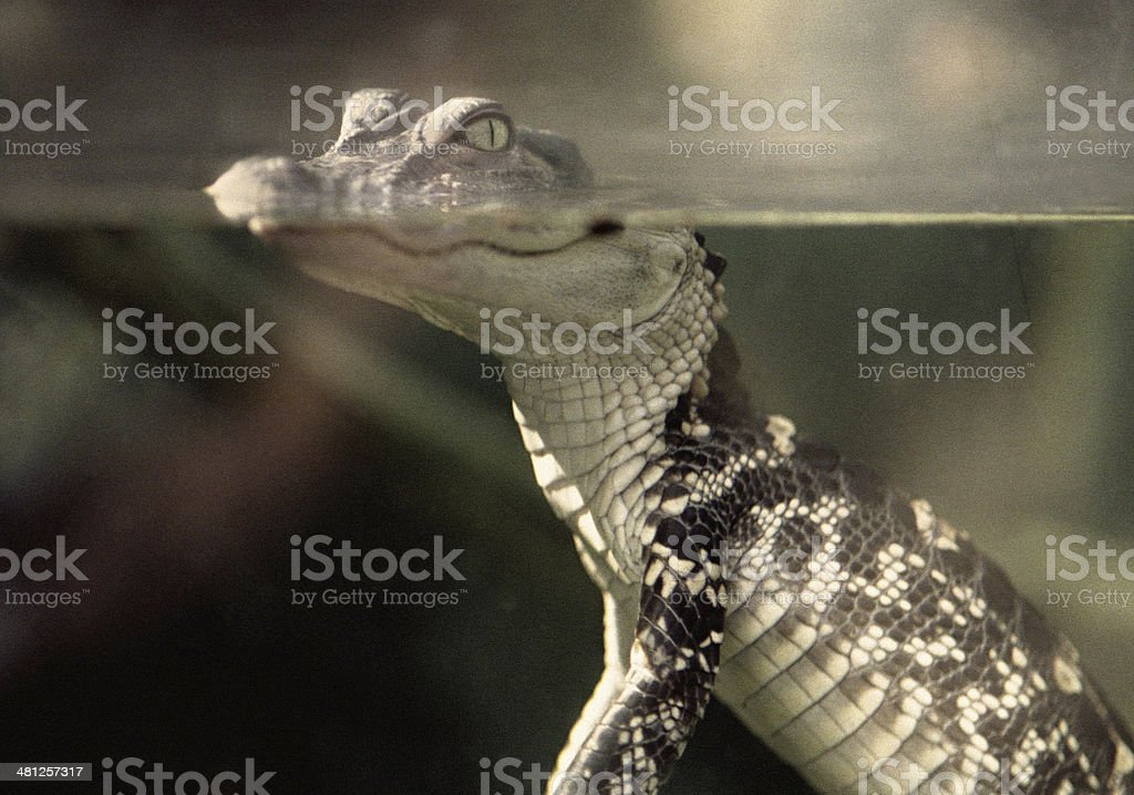 Retro Baby Alligator stock photo