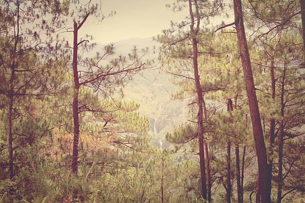 retro effect pine trees stock photo