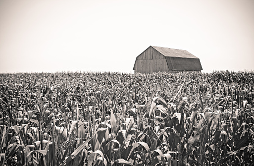 Retro image of an old wooden barn in the cornfield.