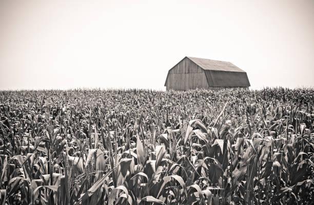 Retro image of a barn in the cornfield stock photo