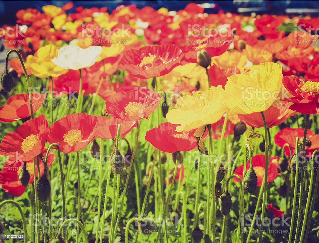 Retro look Papavers stock photo