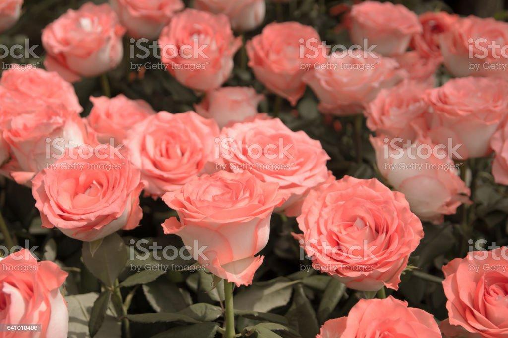 Retro Pink Roses Backgroundvintage Pink Roses Background Stock Photo