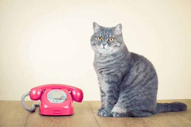 Retro rotary telephone and big cat on table. Old instagram style filtered photo Retro rotary telephone and big cat on table. Old instagram style filtered photo animal call stock pictures, royalty-free photos & images