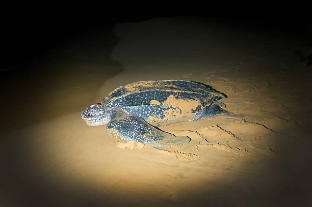 return to the vast ocean of sea turtles - leatherback - leatherback stockfoto's en -beelden