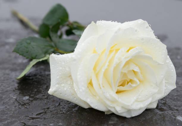 ehrfurcht / in erinnerung - eine rose liegt auf einem gefrorenen boden auf eis - trauer abschied tod stock-fotos und bilder