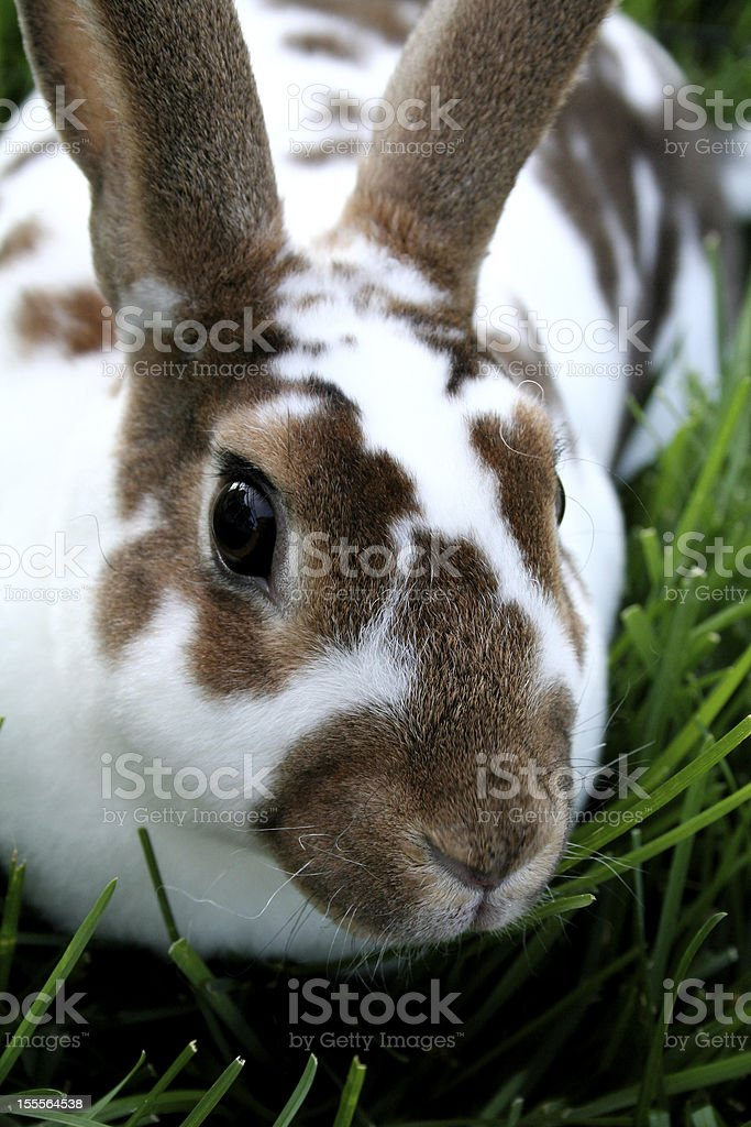 Rex Bunny Rabbit royalty-free stock photo
